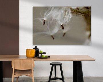 Graines végétales Asclepias  sur Margot van den Berg