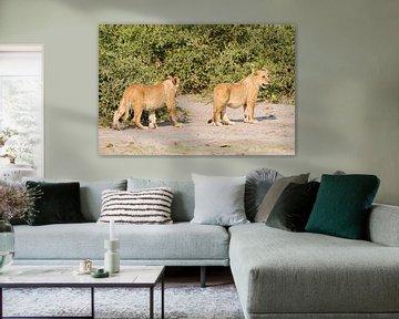 Afrikaanse Leeuwtjes spelen tezamen von Dexter Reijsmeijer