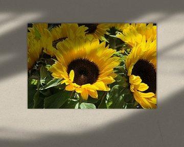 grote gele zonnebloemen sur Compuinfoto .