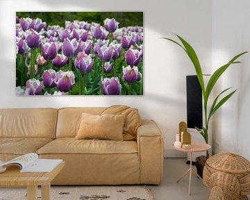 veld met paarse tulpen von Compuinfoto .
