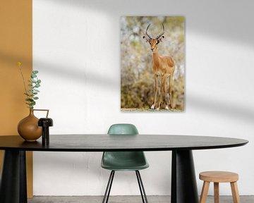 Impala sur Robert van Brug
