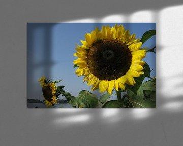 Zonnebloemen von Rafael Delaedt