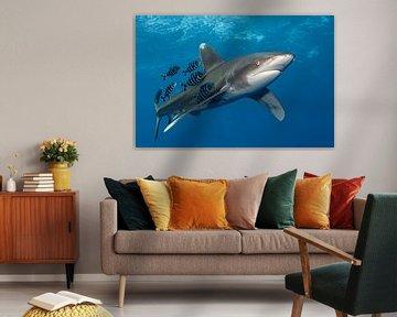 Hai-Speed-Longimanus mit Pilotfischen von Norbert Probst
