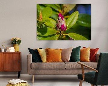 Blüte im Knospe (Rhododendron) von Fred Leeflang