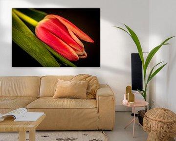 Eine rosa Tulpe auf einem schwarzen Hintergrund von Patrick Herzberg