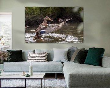 duck with splashes water von Compuinfoto .