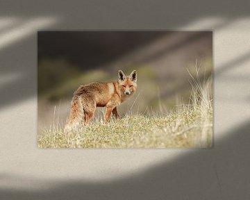 Een vos van Menno Schaefer