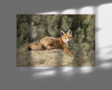 Liggende jonge vos van Menno Schaefer