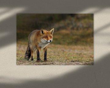 Kijkende vos von Eelke Cooiman