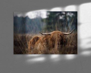 Schotse Hooglander Stabrechtse Heide van Astrid Brouwers
