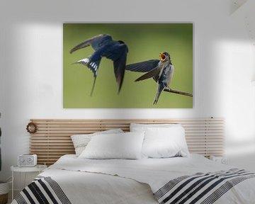 Boerenzwaluw voert de jonge zwaluw von Menno Schaefer