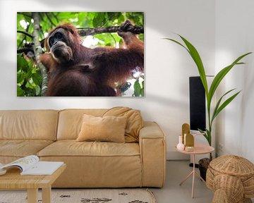 Orang-oetan in de jungle van Sumatra, Indonesië sur Martijn Smeets