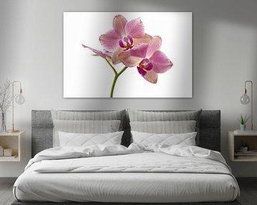 Orchidee  von Gera Wijlens