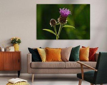 Wiesen Flockenblume von Rafael Delaedt