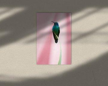 Kolibrie met roze achtergrond (Costa Rica) van Cocky Anderson