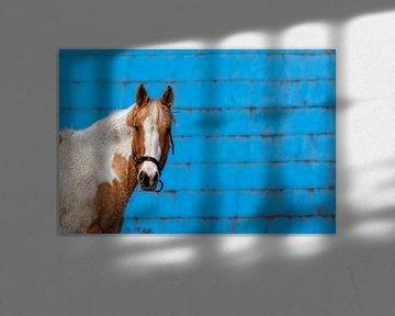 Poney sur mur bleu sur Renald Bourque