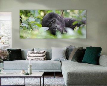 Jonge berggorilla, Oeganda van Dirk-Jan Steehouwer