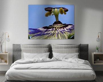 Passionsblume, Passiflora caerulea von PuurLuuc