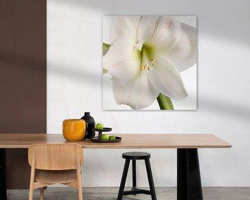 Amaryllis bloem