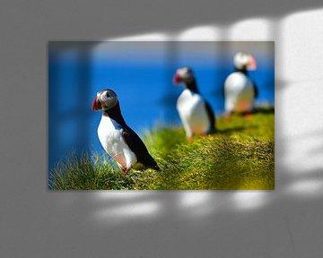 North Atlantich Puffins in de heerlijke zomerzon van Koen Hoekemeijer