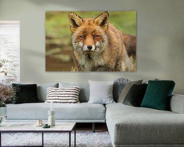 Oog in oog met een vos van Ilya Korzelius