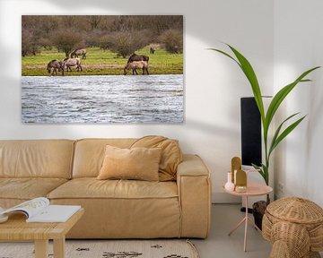 Konik paarden grazend langs het water in de Oostvaarders plassen