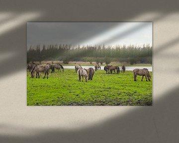 Konikpaarden 4
