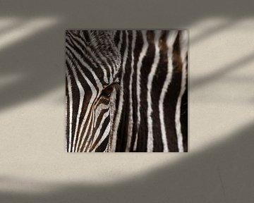 Oog in oog met de zebra