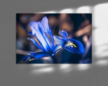 Blauwe lente Iris van Nannie van der Wal