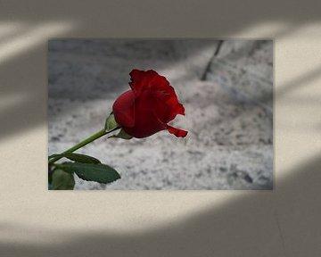 rote Rose von Anouk Noordhuizen