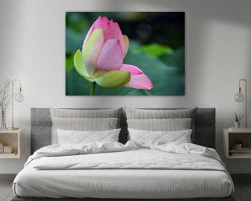 Lotosblüte - Seerose - Nelumbo von Wiltrud Schwantz