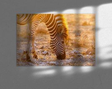 Grazende zebra in zonsondergang sur Simone Janssen