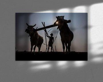 Boer in Mandelay bewerkt op traditionele wijze de akker met een ploeg voorgetrokken door ossen. Wout van Wout Kok