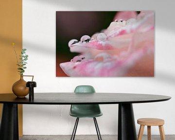 Roze roos met regendruppels van Miranda van Hulst