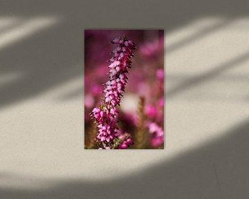 springtime! ... pink, pinker, pinkest III sur Meleah Fotografie