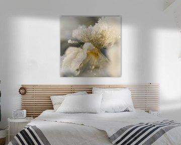 Wit viooltje met rijp en ochtendzon van PuurLuuc