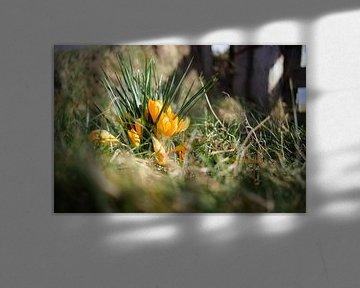 Voorjaarslicht op gele krokussen in grasland van Fotografiecor .nl
