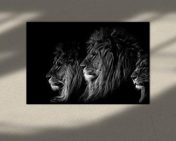 Der König der Löwen schwarzweiß sur Ron van Zoomeren