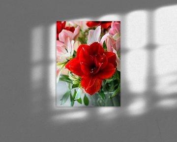 amaryllis bloemen in rose en rood