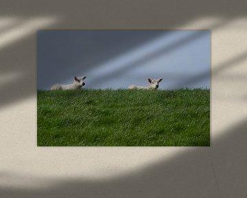 Lammetjes op de dijk bij Wierum, Lente in Friesland van Tim Groeneveld