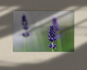 Lavendel van Thijs Schouten