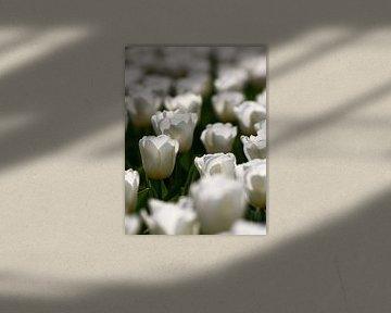 Witte tulpen van Thijs Schouten