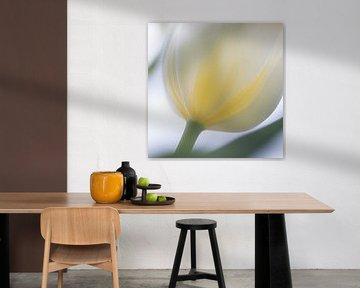 Witte Tulp in zacht tegen licht van Ingrid Van Damme fotografie
