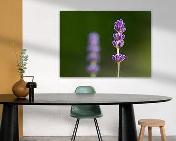 Lavendelbloem van Thijs Schouten
