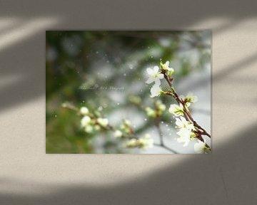 Traum von Pflaumenblüten  von Mika Iwakiri