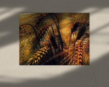 Getreide von Burkhard Kohnert