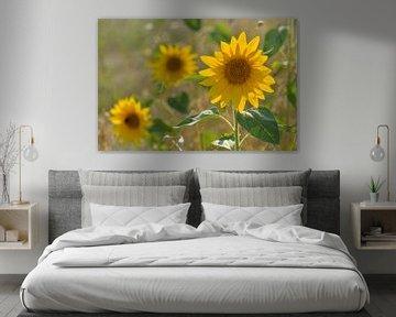 Sonnenblumenfeld von zwergl 0611