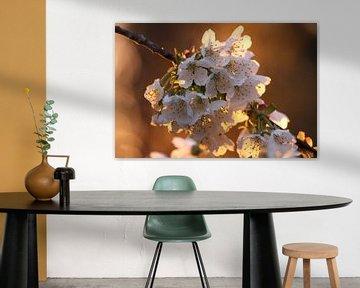 Kirschblüte im Abendlicht von Erich Werner