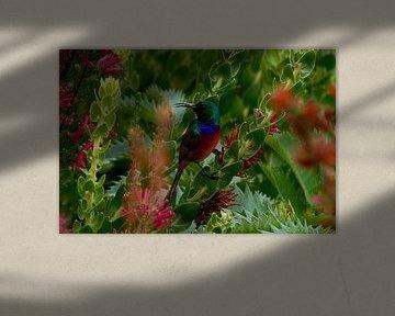 Double-collared Sunbird van Vera Brok