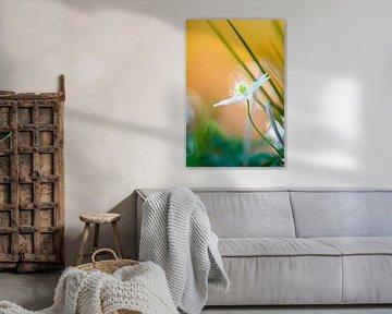 Bosanemoon in bloei langs de waterkant van een beek van Mark Scheper